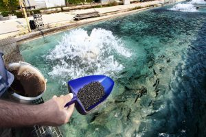 Man feeding the trouts swimming in a pool in a trout farm at Bussi, in Abruzzo. Other images in: